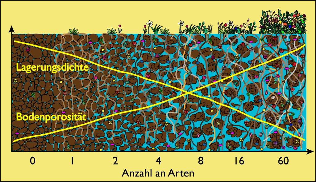 Pflanzliche Biodiversität verbessert Bodeneigenschaften: Eine große Anzahl an Pflanzenarten führt zu einer hohen Porosität und niedriger Lagerungsdichte, was gut für den Boden ist